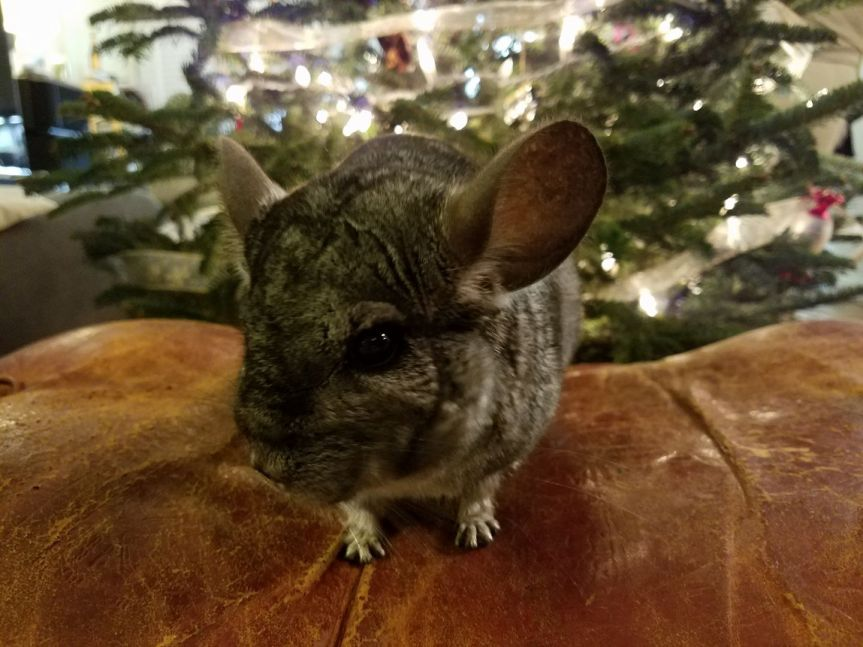 Christmas Ch-Ch-Chinchilla!